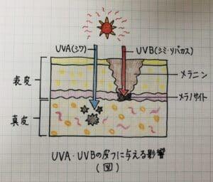 UVA,UVBの皮膚に与える影響